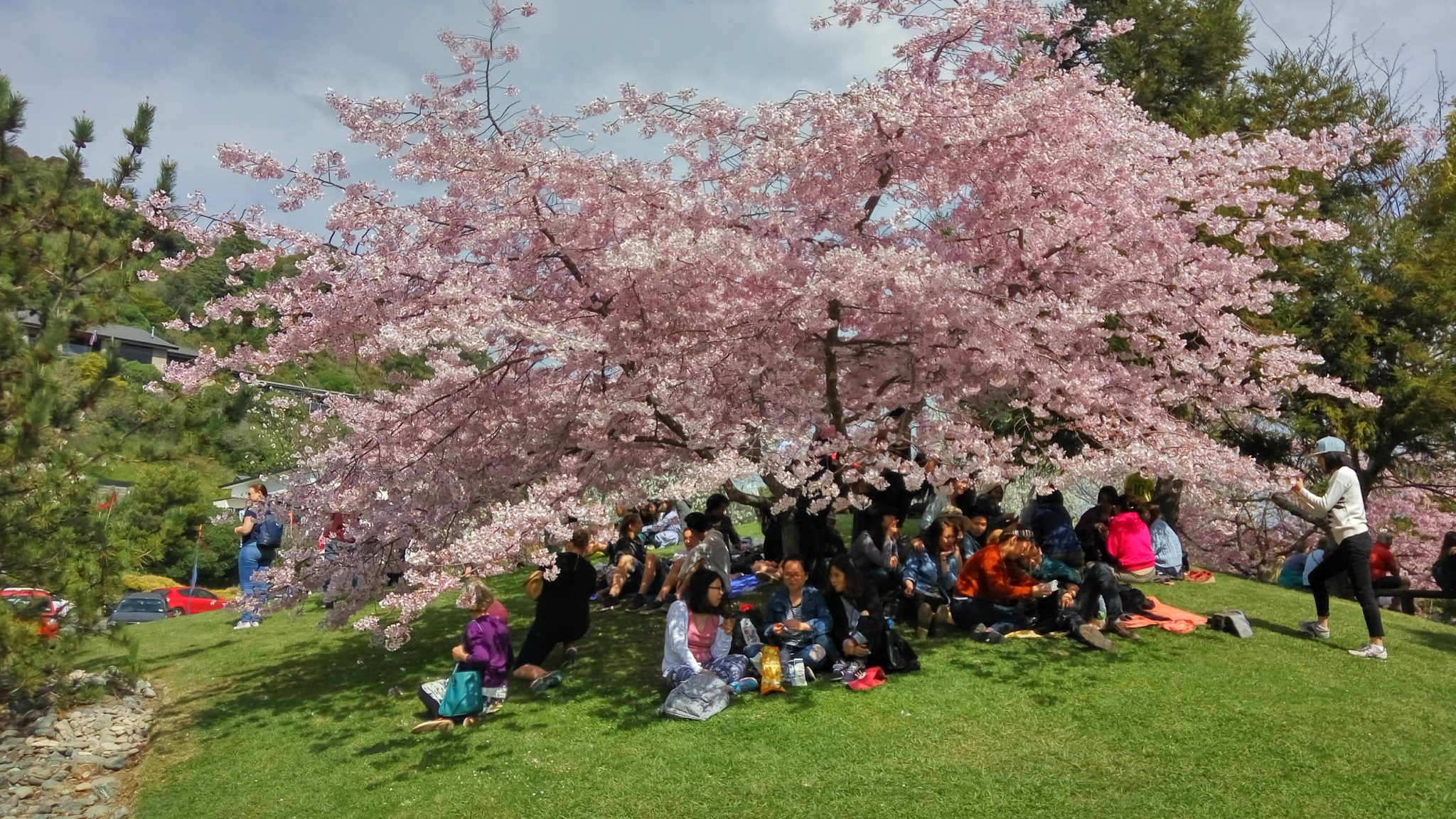 Nelson Newcomers Welcomed At Miyazu Cherry Blossom Festival