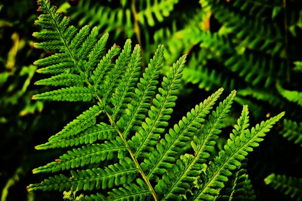 fern-leaf-country